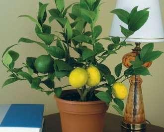Лимон комнатный - как выращивать?