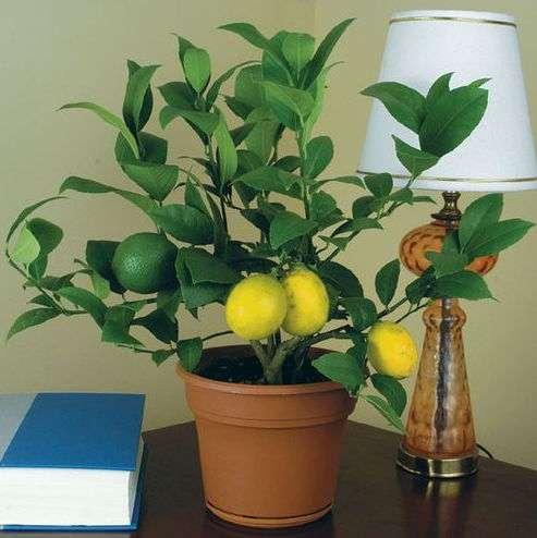 Выращивание комнатного лимона. Советы и практика.