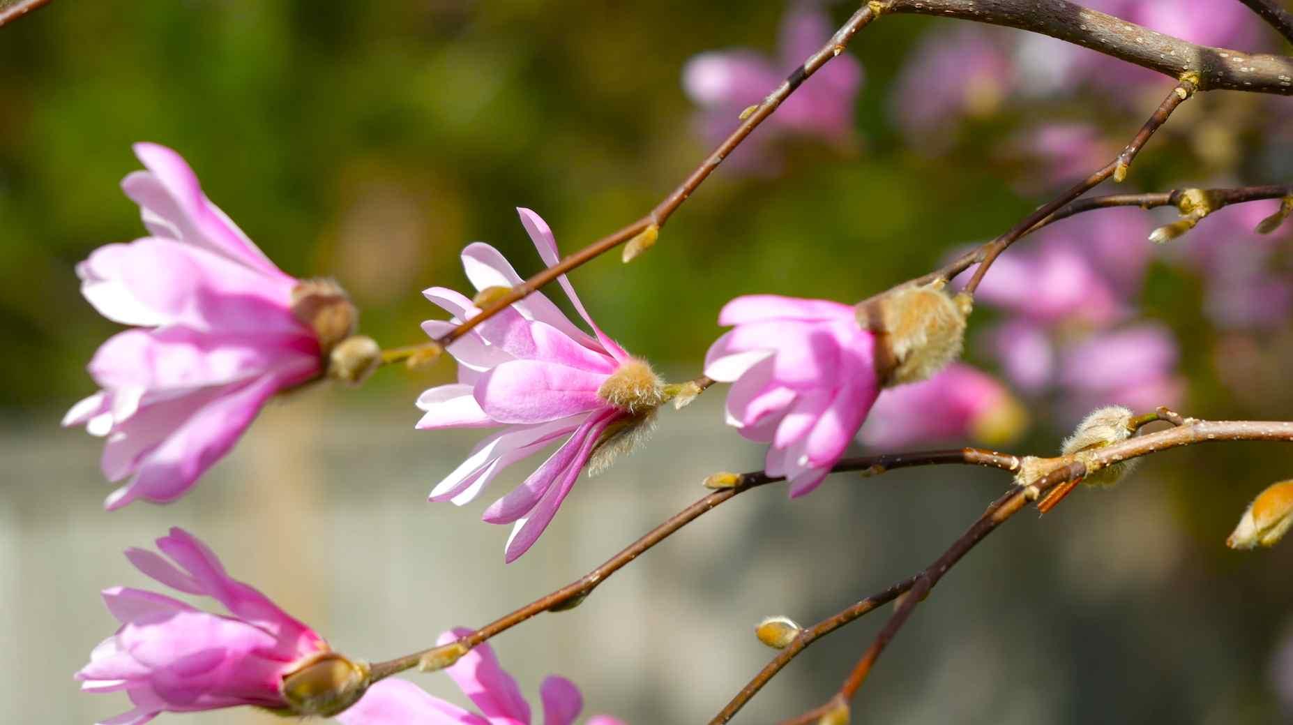 Цветы магнолии – символ чистоты и нежности