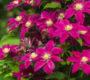 Король вьющихся цветов – клематис: посадка и уход