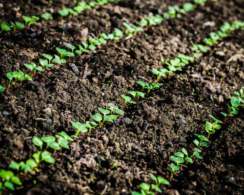 Правила выбора и посадки семян перца и редиса